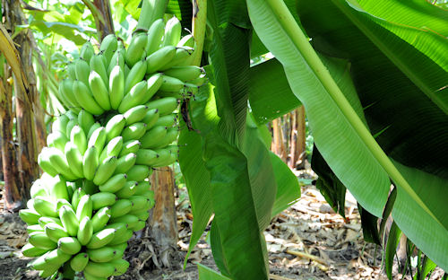 Racimo de plátano dominico (Bananas de Veracruz)