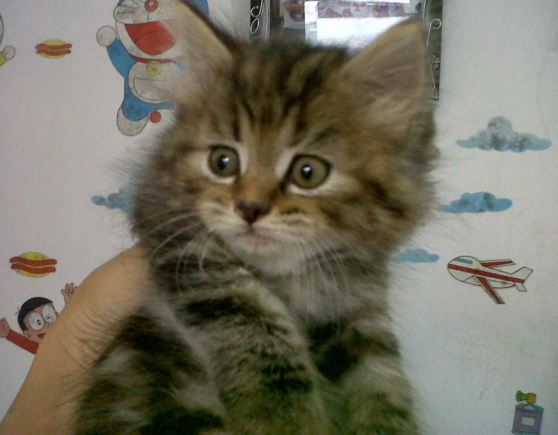 Jual Beli Kucing Persia Area Solo Welcome