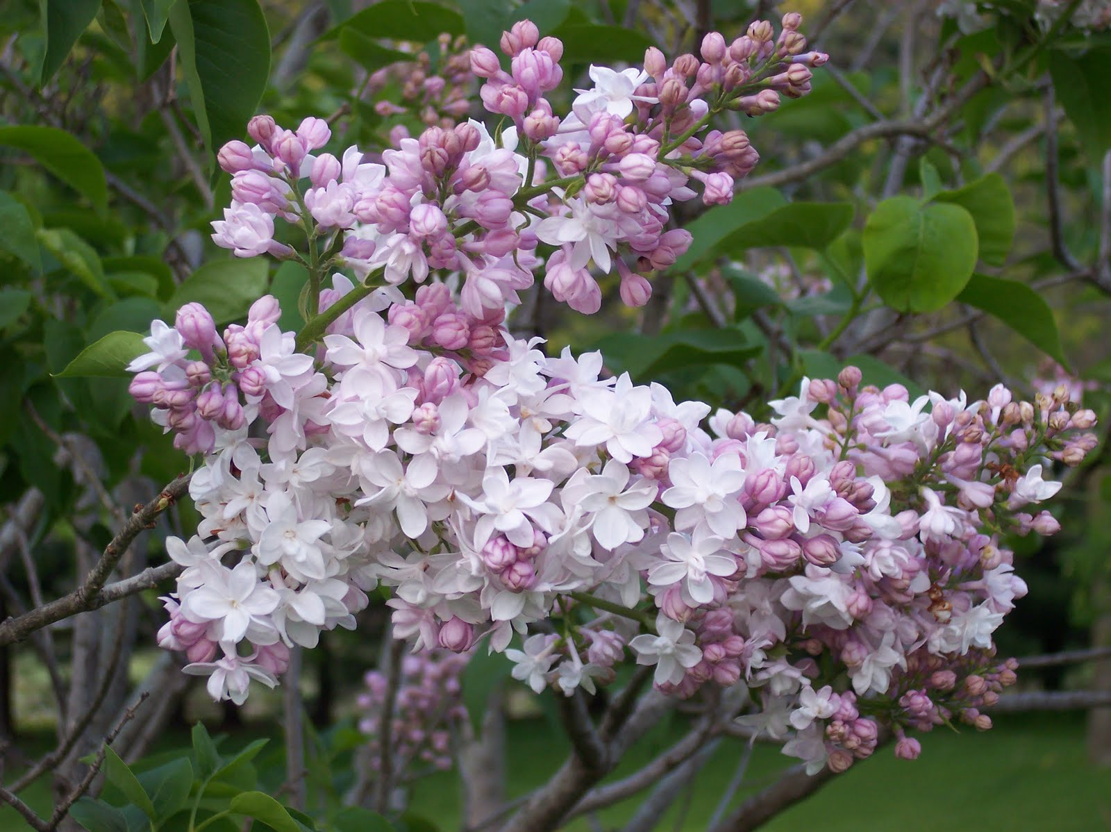 Image result for beautiful lilacs