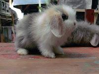 Jenis-jenis kelinci, Mini Lop