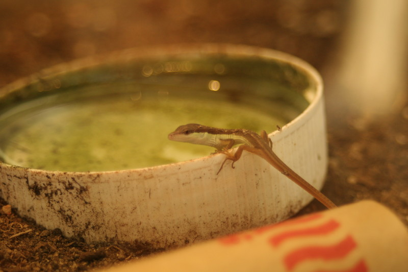 What Do Green Anole Lizards Eat And Drink
