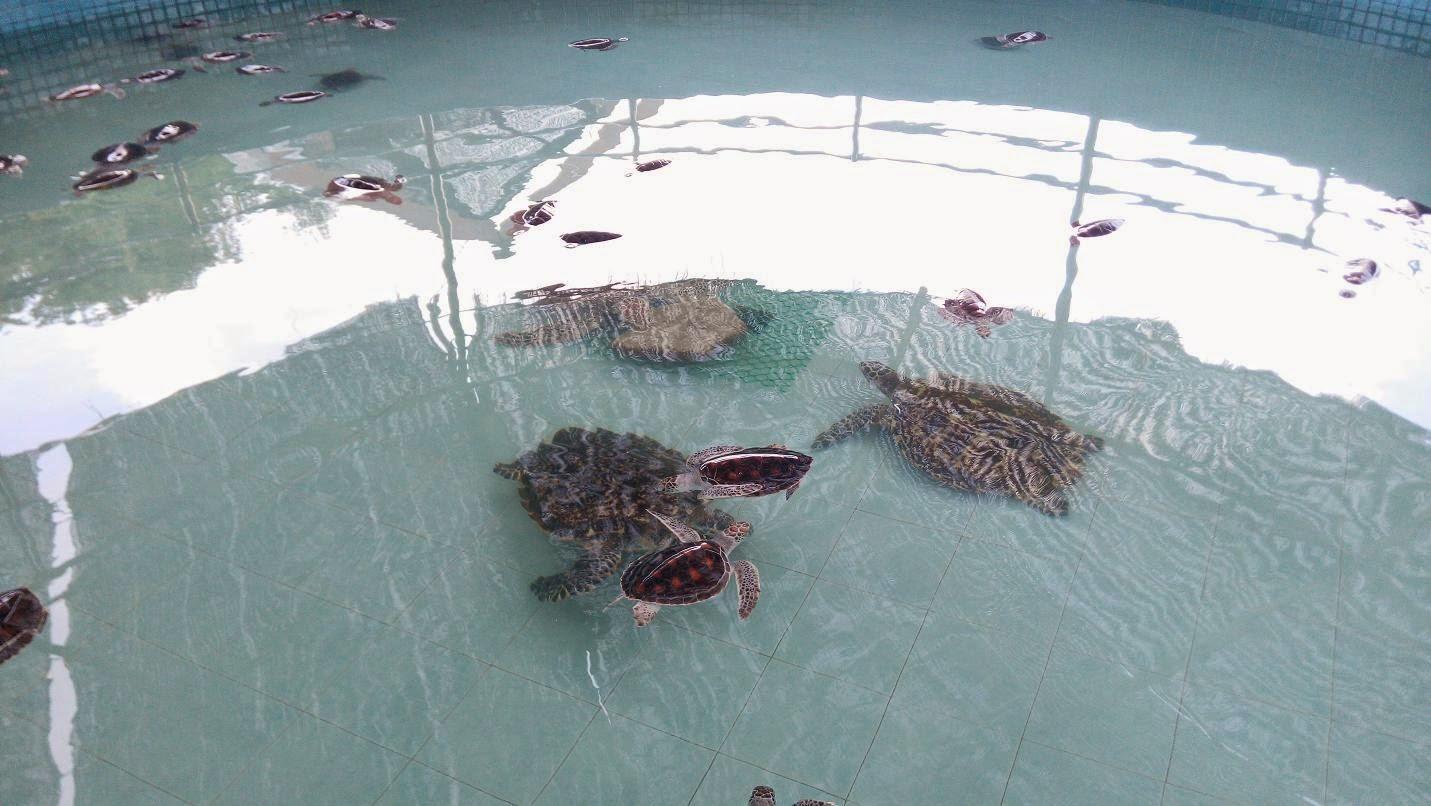 Turtle in Malaysia,Malaysian turtle