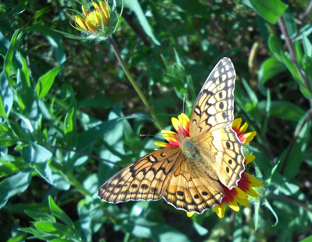 Variegated Fritillary Butterfly visiting a Firewheel Winfrey Point, White Rock Lake, Dallas
