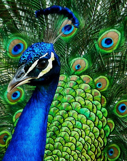 information about indian peacock