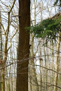 Baumwichte im Wald   ;0)