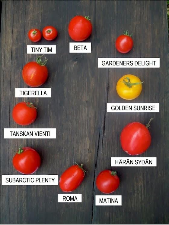 Tomaatti lajit