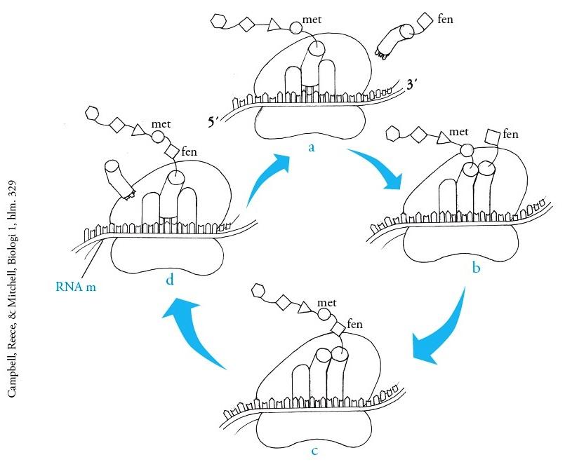 Proses dan tahapan sintesis protein pengertian replikasi tahap elongasi translasi ccuart Image collections