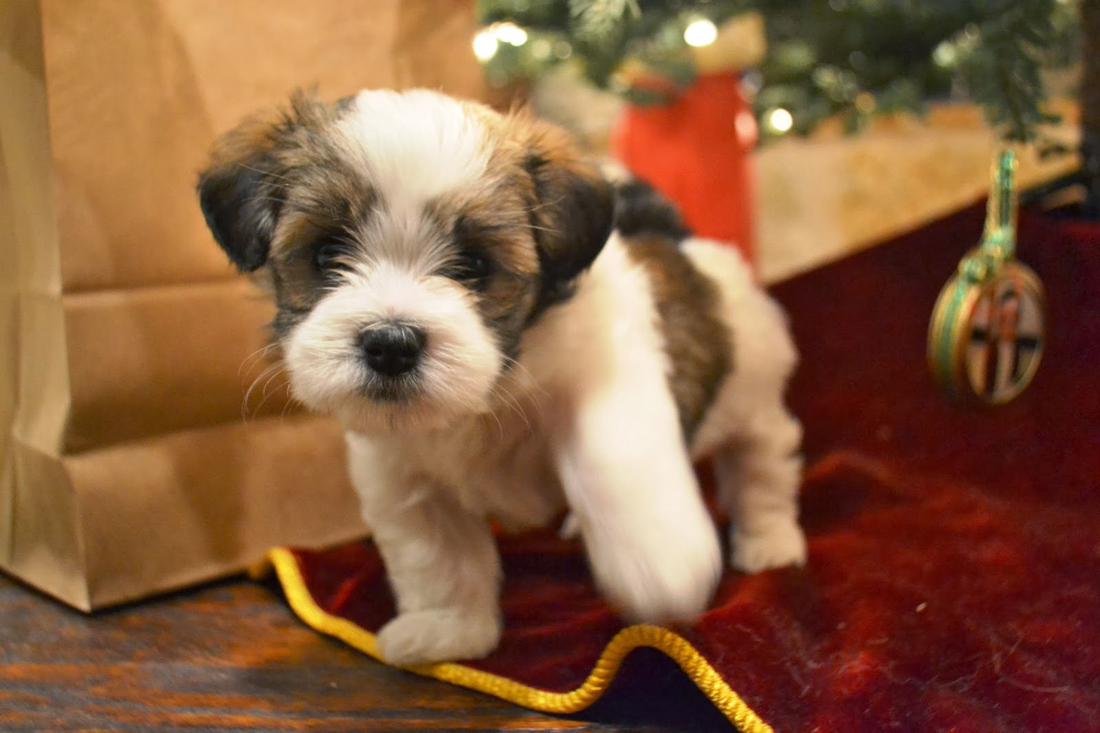 Charming Havanese Havanese Puppies For Sale