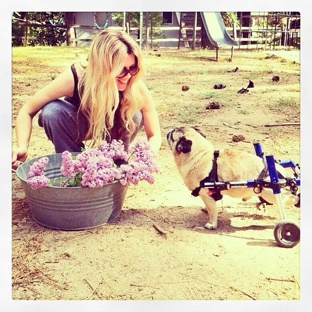fresh cut lilacs, pug in wheels