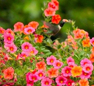 Ruby Throated Hummingbird - Richmond, VA