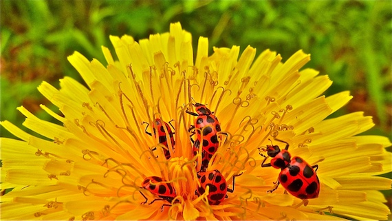 Asian lady beetles in close up view with their bottoms up in a dandelion