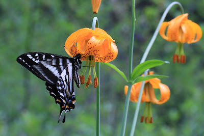Papilio eurymedon - Pale Swallowtail on Lilium columbianum - Columbia Lily