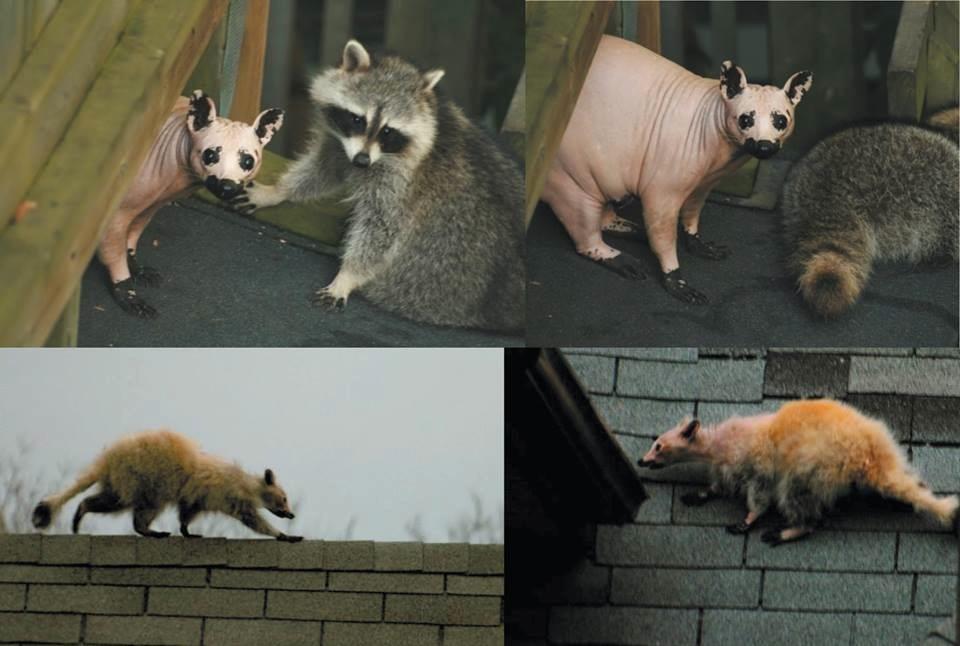 """TYWKIWDBI (""""Tai-Wiki-Widbee""""): Sometimes mistaken for a ... Raccoon With Mange"""