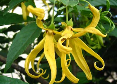 Gambar Bunga Kenanga