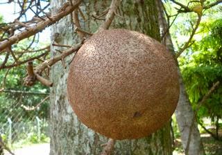 Fruit of Sal-Shorea robusta