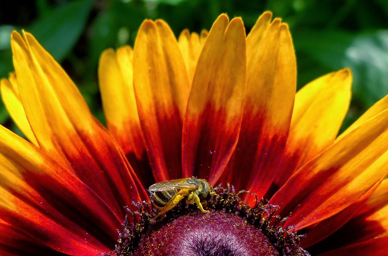 Native bee on rudbeckia, pollinators, urban farming