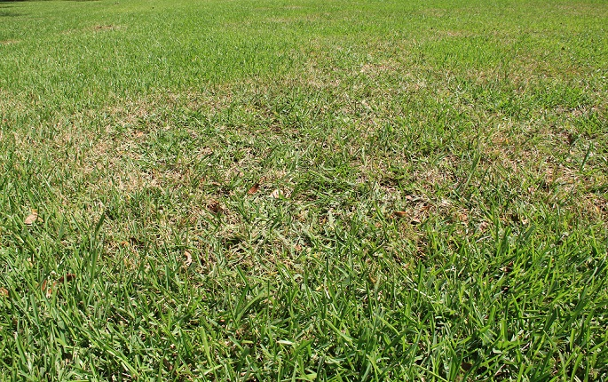 Image Result For Chinch Bugs Treatment