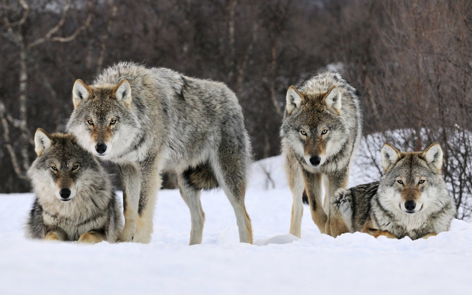 Wolves vicious predators or normal animals