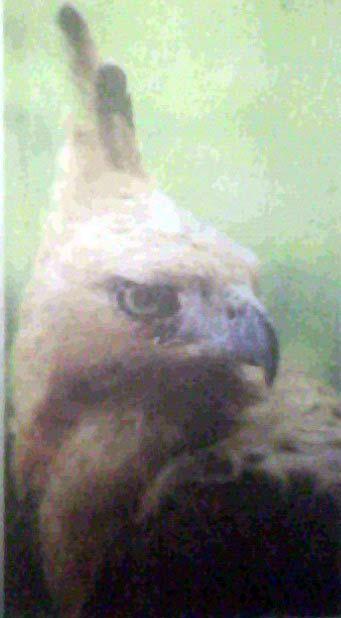 Elang Jawa, Burung Terlangka di Dunia