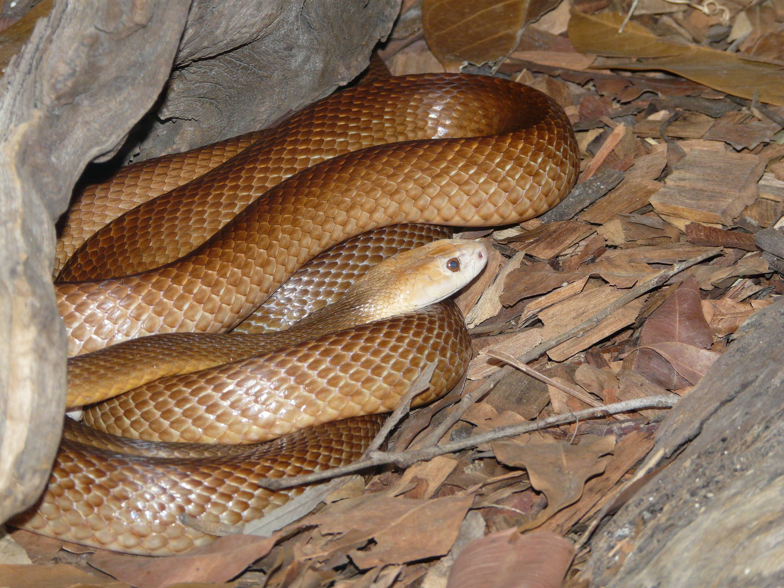 Wildlife Of The World Taipan Snake Facts And Danger Images