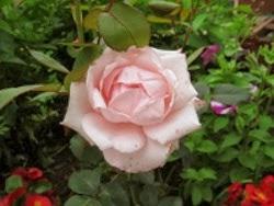 Роза 'Pristine'