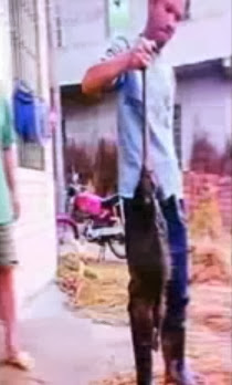 Ratazana de um metro e cinco quilos capturada na China