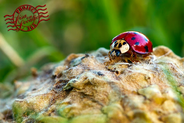 365 photo challenge, Lisa On Location photography, New Braunfels, Texas. Ladybug macro