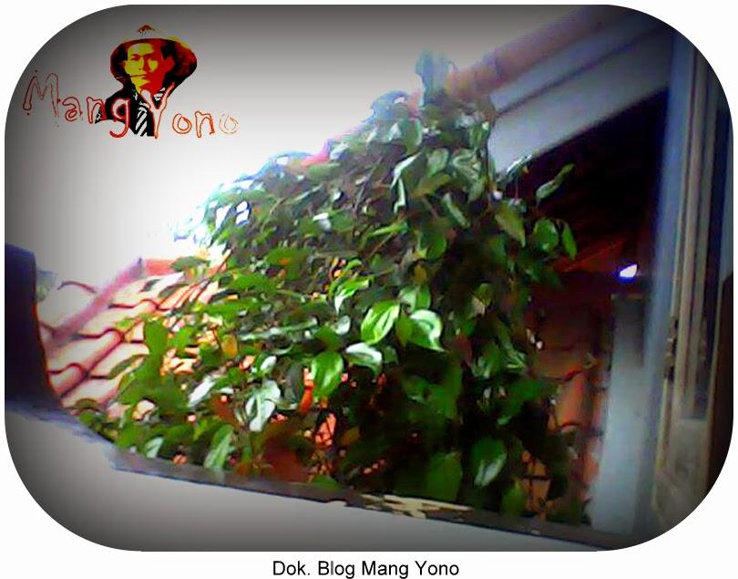 Sirih Merah Mang Yono