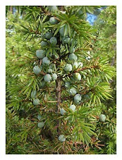 JUNIPER-TREE-WITH-CONES-BERRIES 1