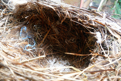 how to clean sparrow nest kitchener