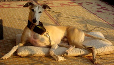 Jasper - The Original Travelin' Whippet