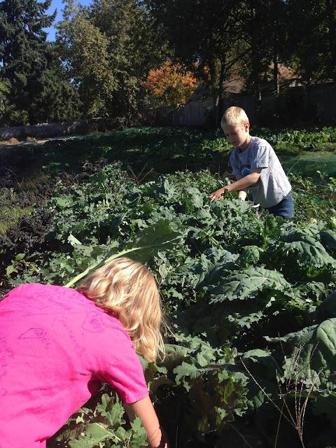 harvesting kale in the grassroots garden eugene oregon