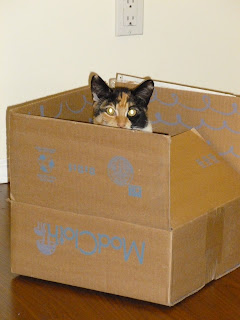 cute calico cat in a box