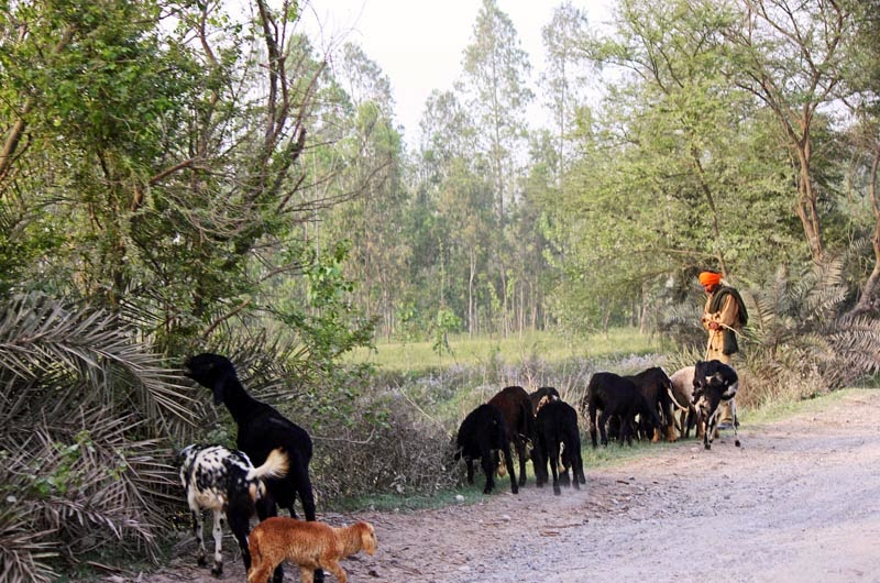 Goatherd with goats on a rural road