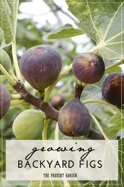 http://theprudentgarden.com/growing-backyard-figs/