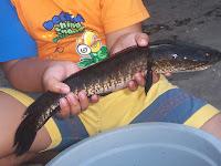 37 Jenis dan Manfaat Ikan Gabus Untuk Tubuh Manusia