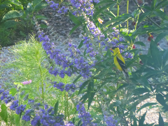 Goldfinch and chaste tree (Vitex agnus-castus)