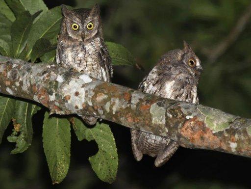 Dua ekor burung hantu Rinjani Scops yang ditemui di pulau Lombok.