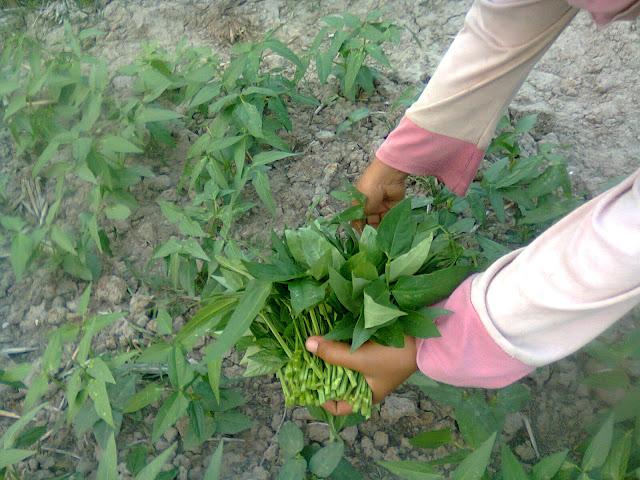 Pekebun Sedang Memanen Daun Kacang Tunggak (Lembayung)