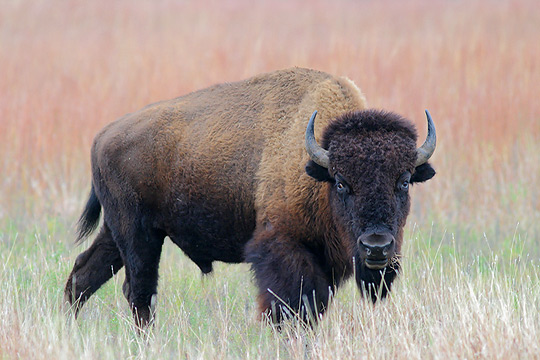 A Bison Eats Bison | Animal Wildlif...