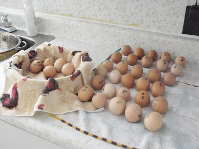 Eggs, Marked Eggs, Chicks, Hatching Eggs