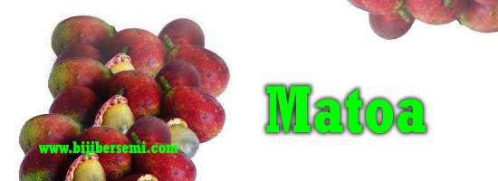 cara menanam matoa, buah matoa, cangkok matoa