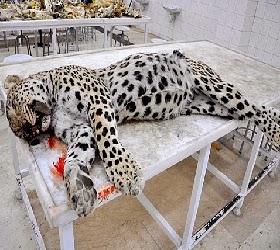 diyarbeki deki leopar