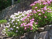 山の斜面にアジサイが植えられ、見所は自然な形で楽しめるところ特徴だという。