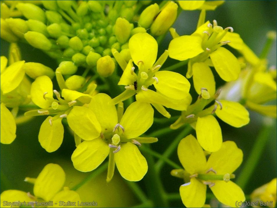 Sisymbrium loeselii - Stulisz Loesela kwiaty