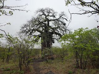 Bij de ingang van het Mopani kamp staat een monumentale, karakteristiek Afrikaanse boom, de apenbroodboom of baobab. Dit exemplaar meet ongeveer 12 meter in de omtrek.