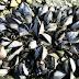 Meer natuurlijke mosselbanken in Waddenzee