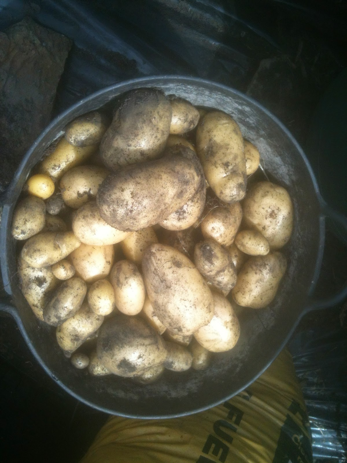 High yields of potatoes on containers.