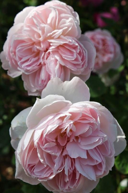 Rosenbed