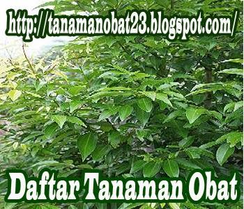 Tanaman Obat Kayu Manis (padang) (Cinnamomum burmani (nees) Bl.)